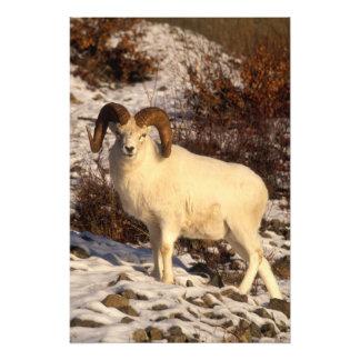 USA, Alaska, Chugach State Park, Dall's Ram Photographic Print