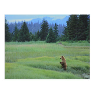 USA, Alaska, Clark Lake National Park. Grizzly Postcard