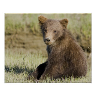 USA. Alaska. Coastal Brown Bear cub at Silver 3 Poster