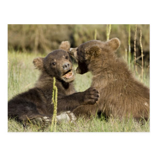 USA. Alaska. Coastal Brown Bear cubs at Silver Postcard