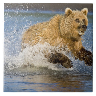 USA. Alaska. Coastal Brown Bear fishing for 2 Tile