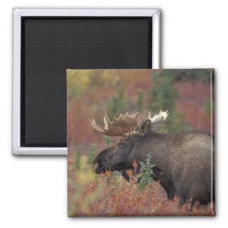 USA, Alaska, Denali National Park Bull moose in Square Magnet