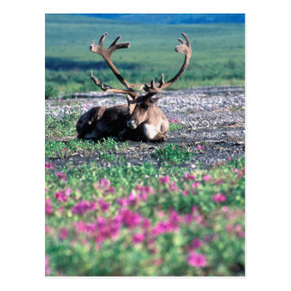 USA, Alaska, Denali National Park, Caribou Postcard