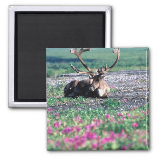 USA, Alaska, Denali National Park, Caribou Square Magnet