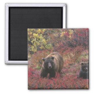 USA, Alaska, Denali National Park. Grizzly bear Square Magnet