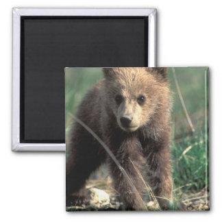USA, Alaska, Denali National Park, Grizzly Square Magnet