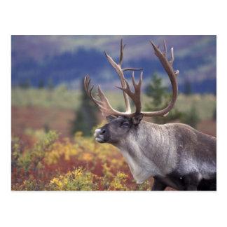 USA, Alaska, Denali NP, Caribou in fall tundra. Postcard