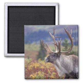 USA, Alaska, Denali NP, Caribou in fall tundra. Square Magnet