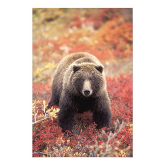 USA, Alaska, Denali NP, female Grizzly Bear Art Photo