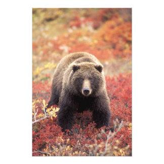 USA, Alaska, Denali NP, female Grizzly Bear Photo
