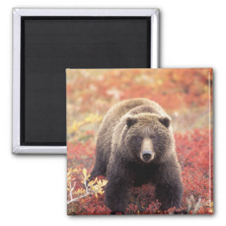 USA, Alaska, Denali NP, female Grizzly Bear Square Magnet