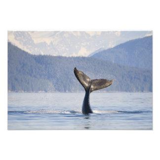 USA, Alaska, Icy Strait. Humpback Whale calf Art Photo