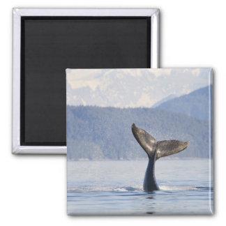 USA, Alaska, Icy Strait. Humpback Whale calf Magnets