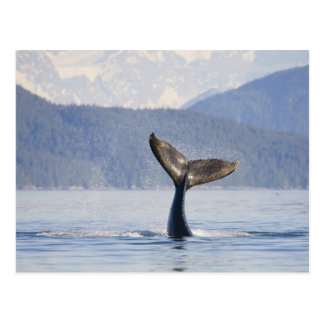 USA Alaska Icy Strait Humpback Whale calf Postcards