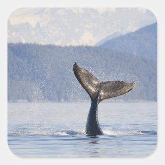 USA, Alaska, Icy Strait. Humpback Whale calf Square Stickers