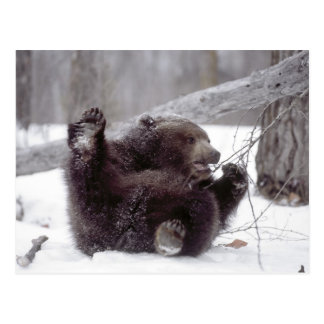 USA, Alaska. Juvenile grizzly plays with tree Postcard