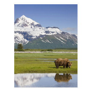 USA, Alaska, Katmai National Park, Brown Bear Postcard