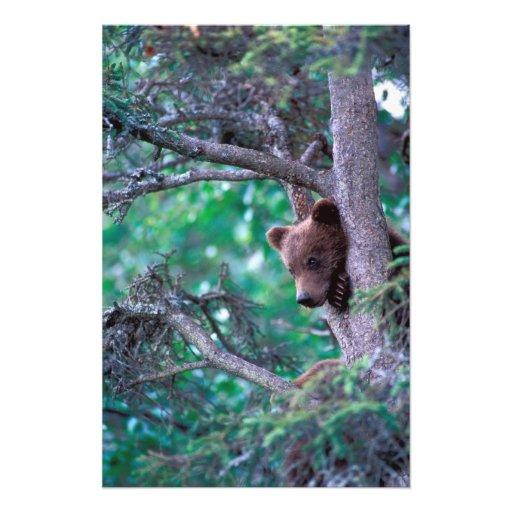 USA, Alaska, Katmai NP, Grizzly Bear cub Photo Print