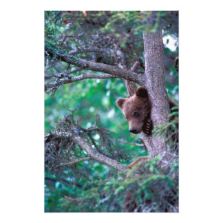 USA, Alaska, Katmai NP, Grizzly Bear cub Photograph