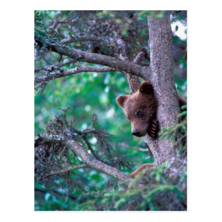 USA, Alaska, Katmai NP, Grizzly Bear cub Postcard