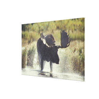 USA, Alaska, Katmai NP Moose shower Canvas Print