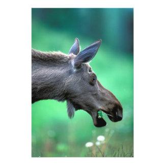 USA, Alaska, Moose Alces alces) munches on Photograph