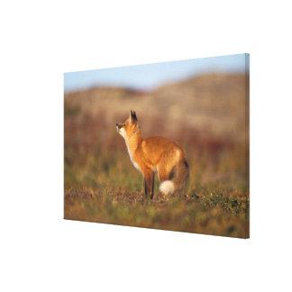 USA, Alaska, red fox, fall tundra colors, North Canvas Prints
