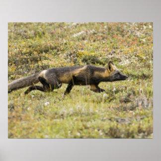 USA. Alaska. Red Fox stalks its prey at Denali Poster