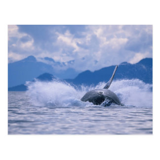 USA, Alaska, Tongass National Forest, Humpback 4 Postcard