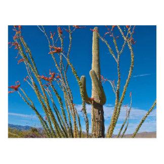 USA, Arizona. Cactus In Saguaro National Park Postcard