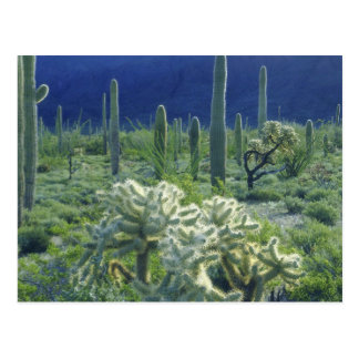USA, Arizona, Organ Pipe Cactus National Postcard