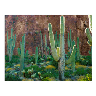 USA, Arizona. Saguaro Cactus Field By A Cliff Postcard