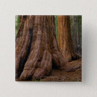 USA, California, Giant Sequoia tree 2 Inch Square Button