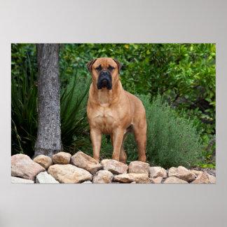 USA, California. Mastiff Standing In A Garden Poster