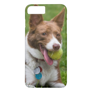 USA, California. Mcnab Shepherd Waiting iPhone 7 Plus Case
