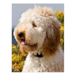 USA, California. Portrait Of Labradoodle 3 Postcard