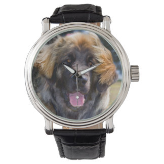 USA, California. Portrait Of Leonberger Sitting Watch