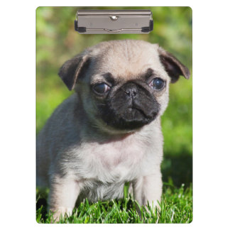 USA, California. Pug Puppy Looking At You Clipboard