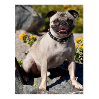 USA, California. Pug Sitting On Boulder Postcard