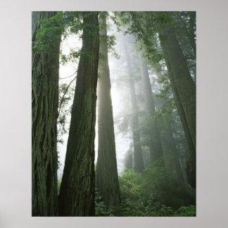 USA, California, Redwood National Park, Poster