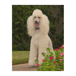 USA, California. Standard Poodle Sitting Wood Wall Art
