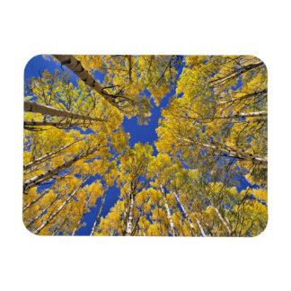 USA, Colorado, Aspen area. Aspen forest in fall Magnet