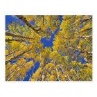 USA, Colorado, Aspen area. Aspen forest in fall Postcard