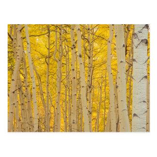USA, Colorado. Aspens In Gunnison National Postcard