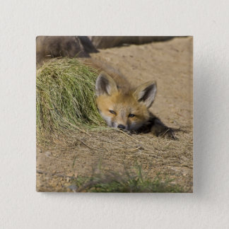 USA, Colorado, Breckenridge. Alert red fox 2 Inch Square Button