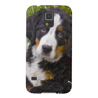 USA, Colorado, Breckenridge. Female Bernese Galaxy S5 Case