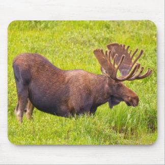 USA, Colorado, Cameron Pass. Bull Moose Mouse Pad