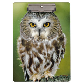 USA, Colorado. Close-up of northern saw-whet owl Clipboard