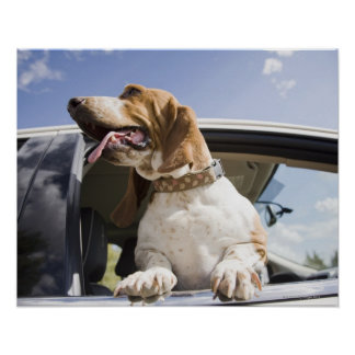 USA, Colorado, dog looking through car window 2 Poster