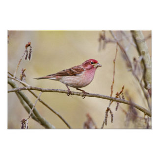 USA, Colorado, Frisco. Cassin's finch on limb. Poster